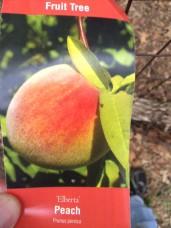 Elberta Peach - Prunus persica