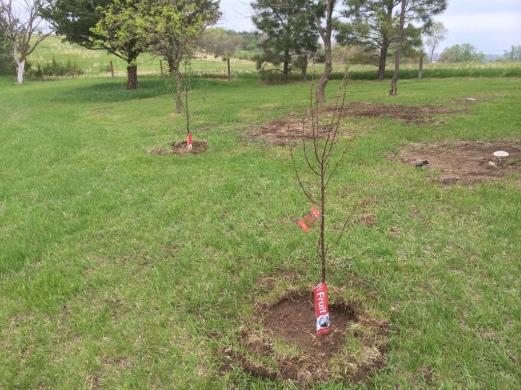 Left - Cherry – Prunus cerasus 'Montmorency', Right - Prunus cerasus North Star Sour Cherry