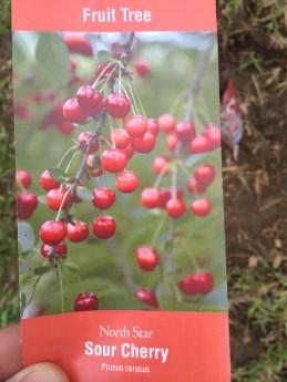 Cherry - North Star Sour Cherry - Prunus cerasus