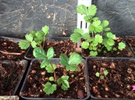 Strawberries from seeds