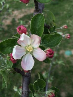 Apple Tree Bloom