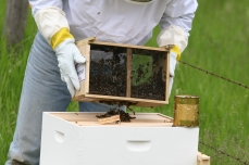 Shaking Bees in Hive