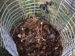 Ninebark - Physocarpus opulifolius