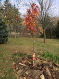 Acer rubrum 'Frank Jr' Redpointe Red Maple