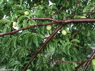 Dad's peach tree