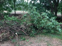 Cottonwood in Ravine