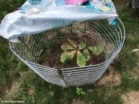 Bur Oak Seedling by fire pit