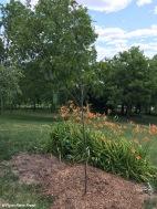Oak Swamp White - Quercus bicolor