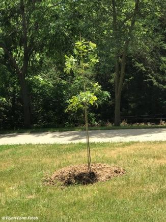 Bur Oak - Quercus macrocarpa
